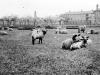 Sheep on the farm at Joyce Green 1915.